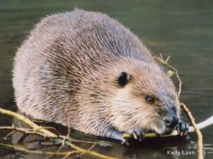American Beaver by blog.nwf.org